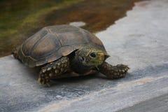 吃草龟 库存图片
