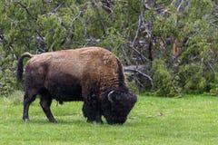 吃草-黄石国家公园- mountai的野生北美野牛水牛 库存图片