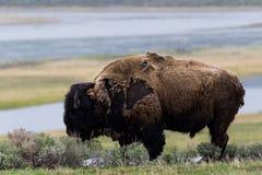 吃草-黄石国家公园- mountai的野生北美野牛水牛 库存照片