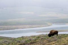 吃草-黄石国家公园- mountai的野生北美野牛水牛 免版税库存照片