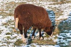 吃草绵羊在一个多雪的草甸 库存图片