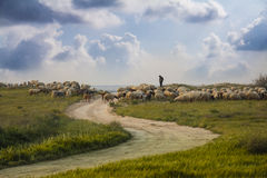 吃草绵羊的域 库存照片