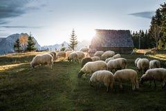 吃草绵羊的群 免版税库存图片