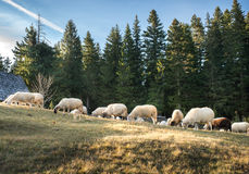 吃草绵羊的群 库存图片
