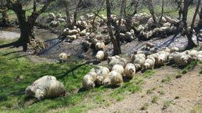 吃草绵羊的群 免版税图库摄影