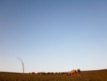 吃草绵羊的草甸 库存图片