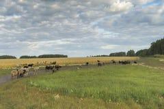 吃草绵羊 牧场地绵羊 图库摄影