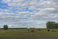 吃草绵羊 牧场地绵羊 免版税图库摄影