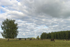 吃草绵羊 牧场地绵羊 免版税库存照片