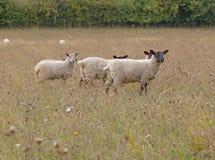 吃草绵羊 免版税库存照片