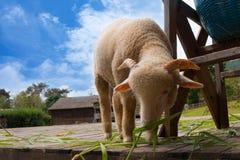 吃草绵羊 免版税图库摄影