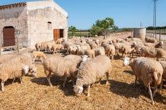吃草绵羊 库存图片