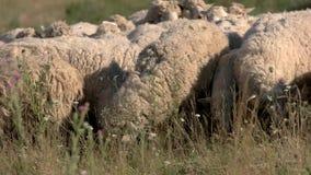 吃草绵羊 股票录像