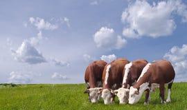 吃草绿色草甸的母牛 免版税库存照片
