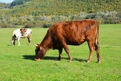 吃草绿色草甸的母牛 免版税库存图片