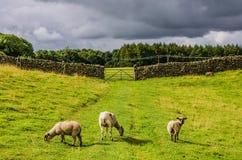 吃草绿色绵羊的域 免版税库存图片