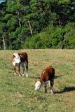吃草年轻人的牛 库存图片