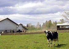 吃草4头的母牛 免版税图库摄影