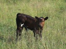 吃草7头的母牛 库存图片