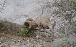 吃草Borrego大垫铁的绵羊 库存图片