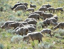 吃草C小山的绵羊在卡森市内华达 免版税图库摄影