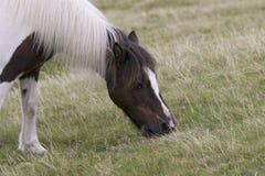 吃草Dartmoor的小马 免版税库存照片