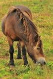吃草Exmoor的小马(马属ferus caballus) 库存图片