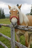 吃草Haflinger的马 免版税库存照片
