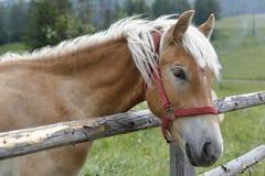 吃草Haflinger的马 免版税库存图片