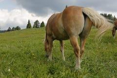 吃草Haflinger的马 库存图片