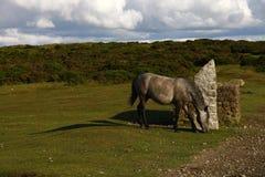 吃草Haytor的倾斜Dartmoor小马 免版税图库摄影