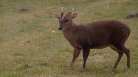 吃草Muntjac的鹿的静态射击 股票录像