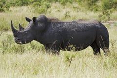 吃草rhinocerous白色 免版税库存照片