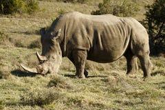 吃草rino白色 库存图片
