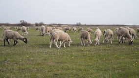 吃草sheeps 股票录像