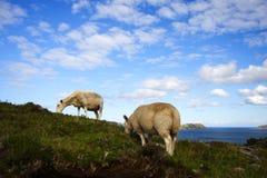 吃草sheeps 免版税库存照片