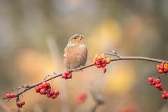 吃莓果的鸟在秋天期间 免版税库存图片
