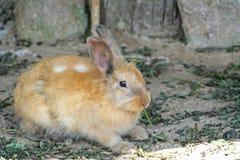 吃菜的兔子 库存图片