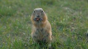 吃菜的地松鼠特写镜头  草原土拨鼠嚼西伯利亚的野生生物 股票录像