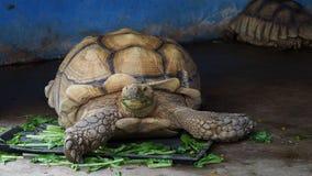 吃菜的巨型非洲被激励的或Sulcata草龟 影视素材