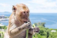 吃菜的特写镜头猴子 免版税库存照片