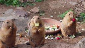 吃菜的草原土拨鼠 股票视频