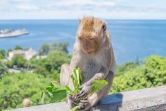 吃菜的猴子 库存照片
