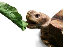 吃菜的sulcata乌龟 免版税库存图片