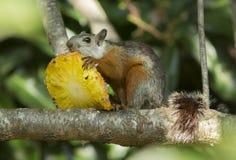 吃菠萝的灰鼠 免版税库存照片
