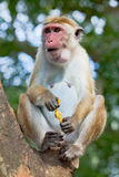 吃菠萝的猴子 免版税库存照片