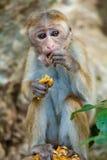 吃菠萝的猴子 免版税图库摄影