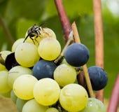 吃葡萄的黄蜂 免版税库存照片