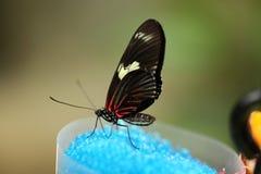 吃蓝色糖的黑飞过的蝴蝶 免版税图库摄影