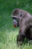 吃蕃茄的大猩猩 免版税库存照片